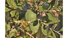 Feijoa Growing Guide