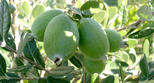 Feijoa Growing Guide Tui Planting Feeding And Caring