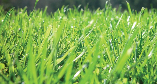 Lawn Growing Guide Tui How To Prepare Plant Grow