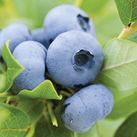 Blueberry Growing Guide