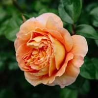 Rose Growing Guide
