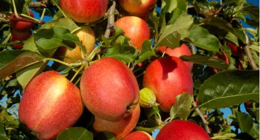 Fruit Tree Growing Guide |Tui| How to Plant, Nourish, Prune