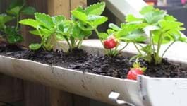 Grow Strawberries in Guttering