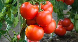Top Tips for Bumper Tomatoes