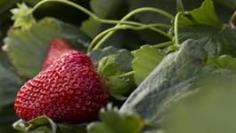 Top strawberry varieties