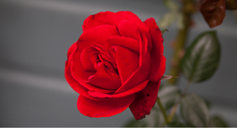 Top Tips for Beautiful Roses