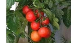 Five Tips For Top Tomatoes