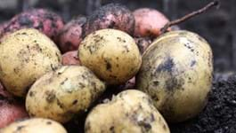 Picking your potato variety