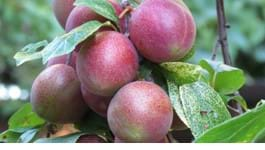 Orchard Tips for Autumn