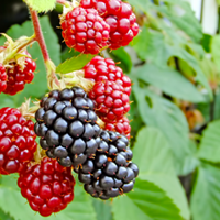 Berry Growing Guide
