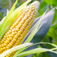 Sweetcorn Growing Guide