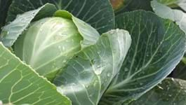 Cabbage Growing Guide