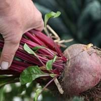 Beetroot Growing Guide