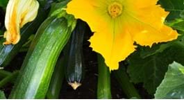 Courgette Growing Guide