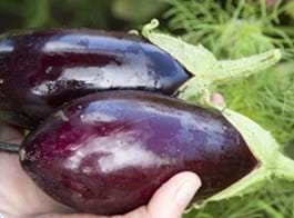 Eggplant Growing Guide
