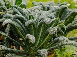 Kale Growing Guide