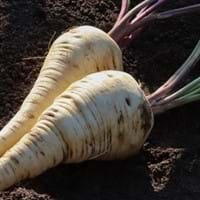 Parsnip Growing Guide