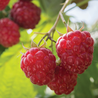 Raspberry Growing Guide