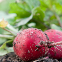 Radish Growing Guide