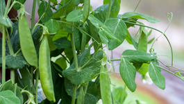 Pea Growing Guide