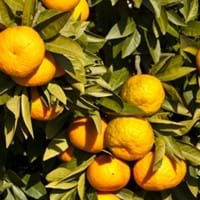Mandarin Growing Guide