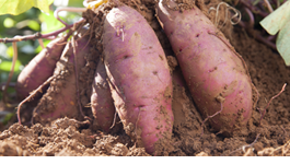 Kumara Growing Guide