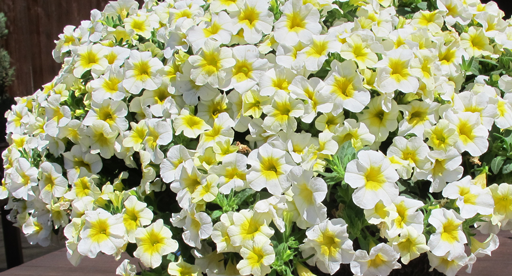 Ery Yellow Eye Which Uniformly Flower Over Nice Compact Plants Ideal For Hanging Baskets Tubs Rockeries Or Cascading Retaining Walls