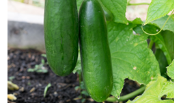 Cucumber Growing Guide