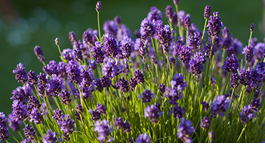 Lavender Growing Guide