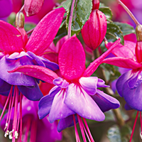 Fuchsia Growing Guide
