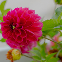 Dahlia Growing Guide