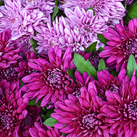 Chrysanthemum Growing Guide