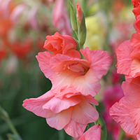Gladiolus Growing Guide