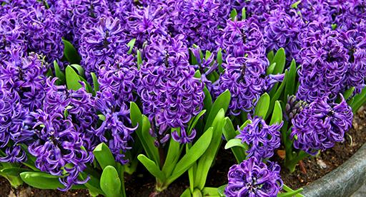 Hyacinth Growing Guide Tui Prepare Plant Nourish