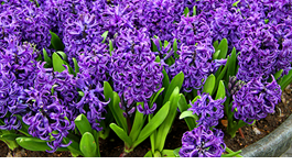 Hyacinth Growing Guide