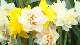 Daffodil Growing Guide