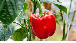 Capsicum Growing Guide
