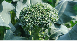 Broccoli Growing Guide