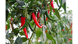 Chilli Growing Guide