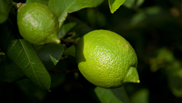 Lime Growing Guide