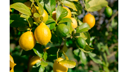 Lemon Growing Guide