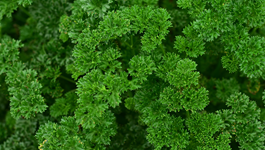 Parsley Growing Guide