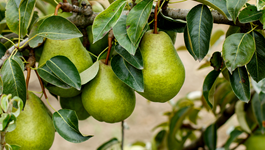 Pear Growing Guide