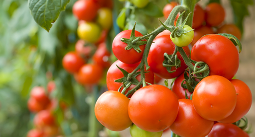 Tomato Growing Guide | Tui | When to plant, feeding, protecting and