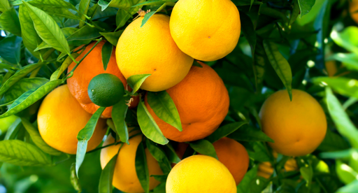 Citrus Growing Guide Tui How To Prepare Plant Nourish