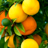 Citrus Growing Guide