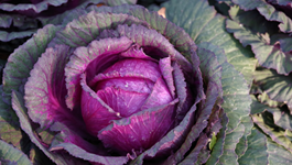 Brassica Growing Guide