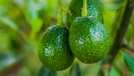 Avocado Growing Guide