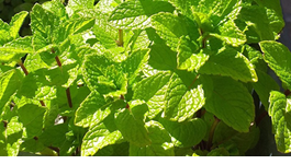 Mint Growing Guide