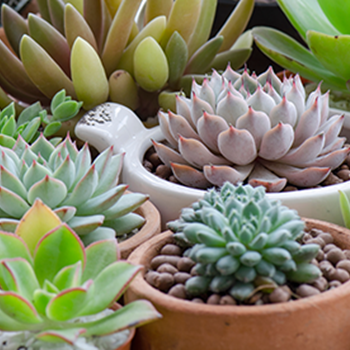Top Tips for Cacti & Succulents